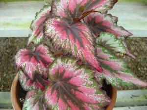 Cómo sembramos paso a paso una Begonia Rex