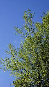Cómo sembrar paso a pasoun Populus Tremula