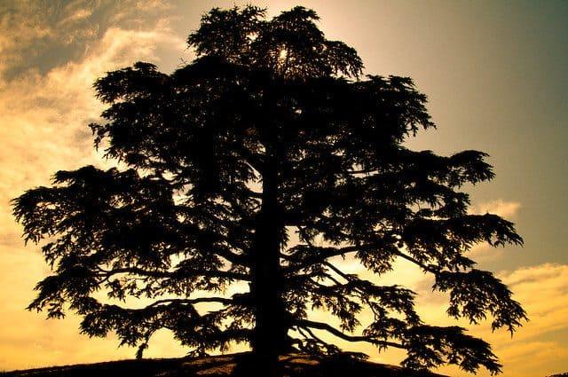 Cómo sembrar paso a paso un cedro del Líbano