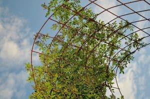 Cómo sembrar paso a paso una maracuyá en España - Trasplantar y colocar soportes o tutorías