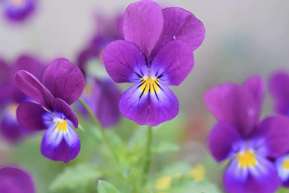 Características de las flores violetas
