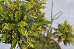 Características Aucuba japonica