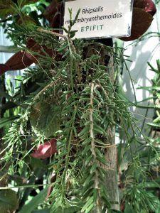 Características de la planta Rhipsalis