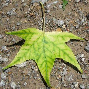 Clorosis foliar qué es y cómo combatirla