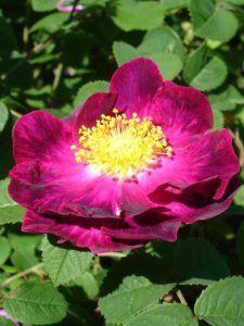 Cómo cultivar Rosa de Alejandría