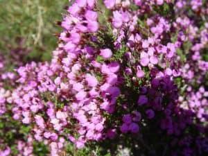 Cómo plantar Erica Australis
