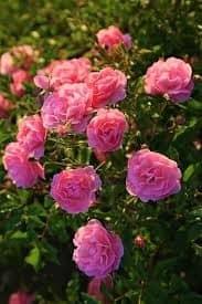 Cómo sembrar la Rosa de Alejandría