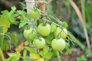 Cómo Entutorar Tomates