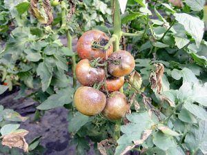 Cómo combatir la acariosis bronceada del tomate o seca de las tomateras - Podas