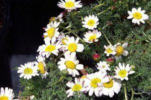 Cómo combatir las pulguillas de las crucíferas - Piretrinas naturales (Anaciclus pyrethrum)