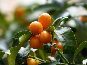Cómo conseguir que los esquejes de kumquat enraícen correctamente