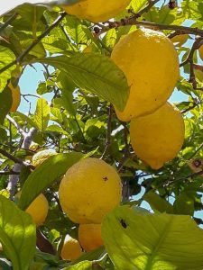 Cómo conseguir que los esquejes de limonero enraícen correctamente