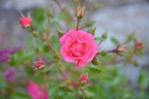 Cómo conseguir que los esquejes de rosal enraícen correctamente