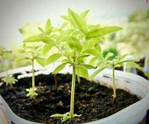 Cómo debemos tomar los esquejes de acebo para sembrarlos