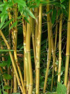 Cómo debemos tomar los esquejes de bambú para sembrarlos