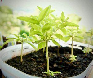 Cómo debemos tomar los esquejes de ciprés para sembrarlos