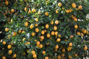 Cómo debemos tomar los esquejes de limonero para sembrarlos