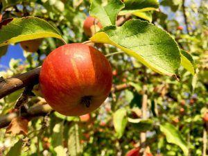 Cómo debemos tomar los esquejes de manzano para sembrarlos