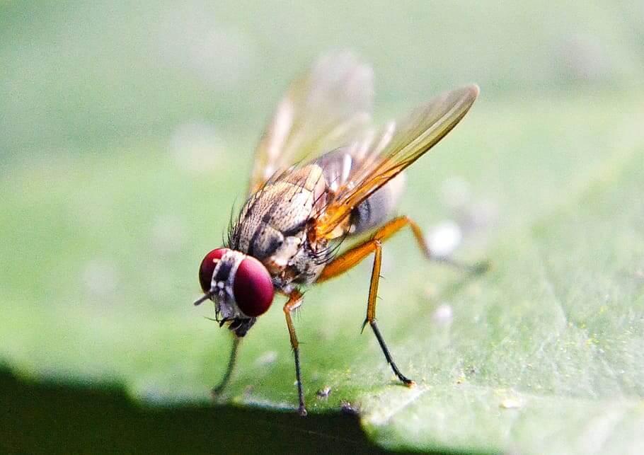 Cómo eliminar las moscas de la fruta