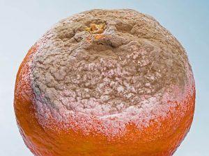 Cómo identificar y eliminar las enfermedades del mandarino - Podredumbre marrón del mandarino