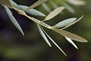 Cómo identificar y eliminar las enfermedades del olivo - El Repilo, vivillo o caída de las hojas del olivo