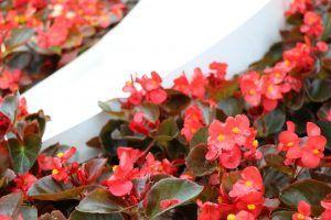 Cómo podar las begonias sin dañar la planta
