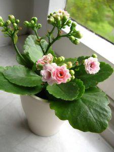 Cómo podar las kalanchoes sin dañar la planta