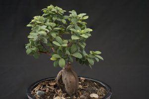 Cómo podemos detectar la falta de riego en el bonsái ficus