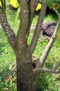 Cómo regamos el árbol bella sombra