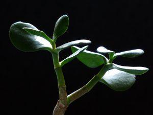 Cómo podemos detectar falta de riego en el jade