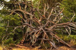 Cuál es la diferencia entre rizoide y raíz