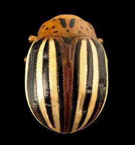 Cuáles son los mejores productos para eliminar el escarabajo de la patata