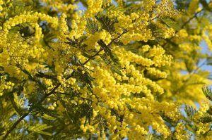 Cuándo sembrar la mimosa árbol