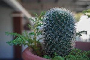 Cuál es la mejor época para plantar esquejes de cactus