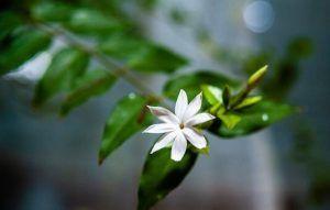 Cuál es la mejor época para plantar esquejes de jazmín chino