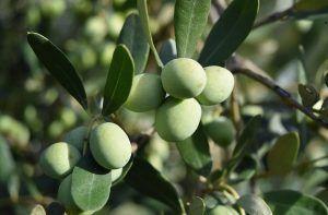 Cuáles son las enfermedades del olivo y cómo podemos detectarlas