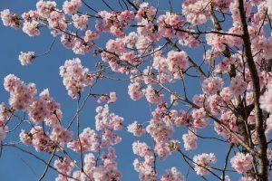 Cuándo es mejor llevar a cabo la poda de cerezos