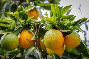 Cuándo es mejor llevar a cabo la poda de naranjos en maceta