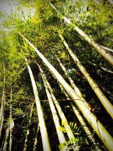Cuánto tiempo deberíamos dejar en agua los esquejes de bambú