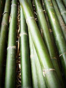 Cuánto tiempo suele tardar en salir un esqueje de bambú