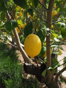 Cuánto tiempo suele tardar en salir un esqueje de limonero