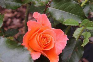 Cuánto tiempo suele tardar en salir un esqueje de rosal