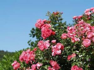 Cuidados de la Rosa de Alejandría