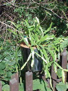 Cuidados de la planta Rhipsalis