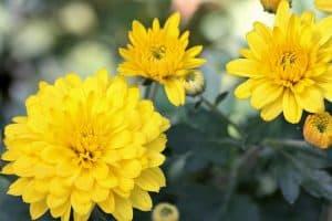 Cuidados de las flores amarillas