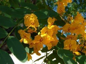 Cuidados del árbol de Tipuana