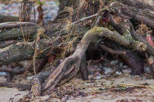 Descripción de las enfermedades de la aloe vera - Pudrición de la raíz