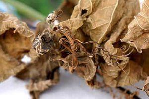 Descripción de las enfermedades de la cebolla - Tizón de la hoja