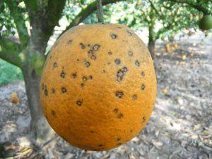Descripción de las enfermedades del naranjo - Mancha negra de los cítricos