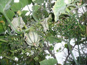Descripción de las enfermedades del pepino - Oídio de las cucurbitáceas